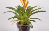 Bromelia con Base Decorada