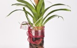 Guzmania con Base Decorada